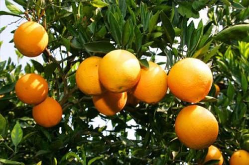 瑶山雪橙品种大全